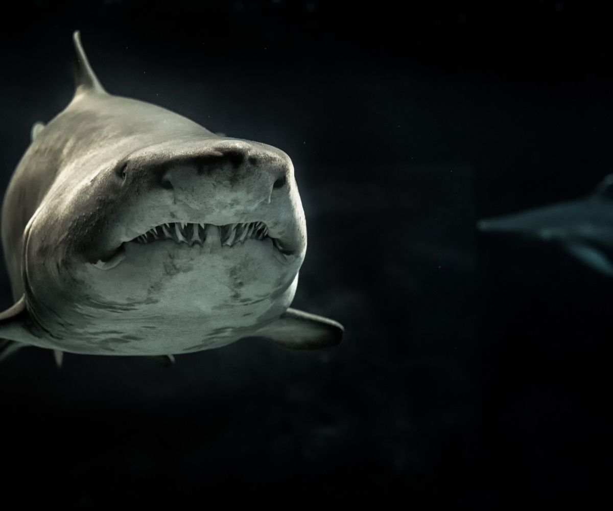 Are Great White Sharks descendants of the Megalodon Shark?
