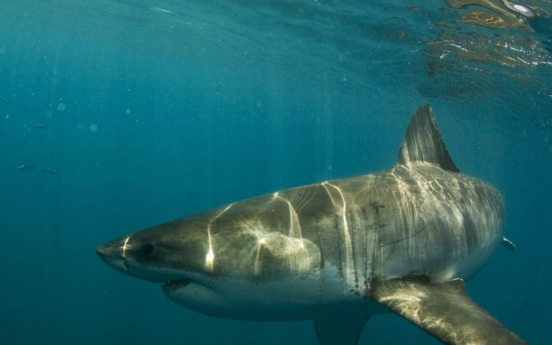 Five Amazing Facts about Great White Sharks