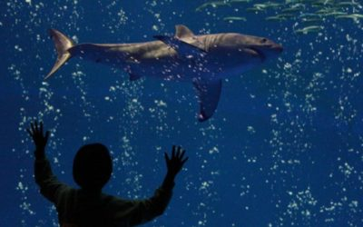 Why Great White Sharks can't be kept in captivity