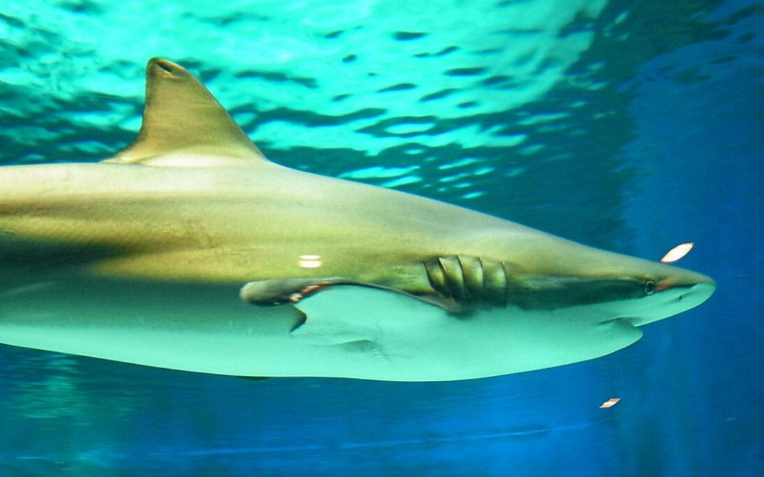 Bronze Whaler Sharks